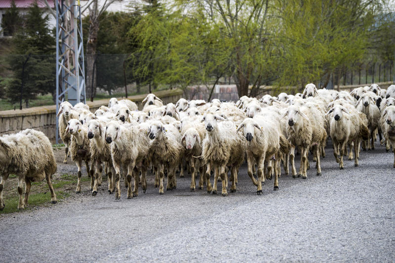 Sheep`s, dozens of sheep passing by, sheep returning home, sheep`s arm. Sheep`s, dozens of sheep passing by, sheep returning home, sheep`s arm stock photography