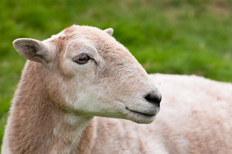 Sheep S Face Royalty Free Stock Images