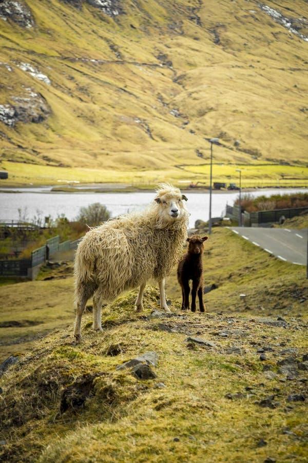 Sheep in Saksun stock images