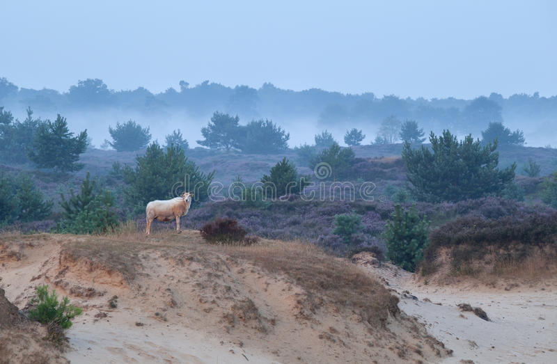 Download Sheep On Sand Dune In Misty Morning Stock Image - Image: 43230957