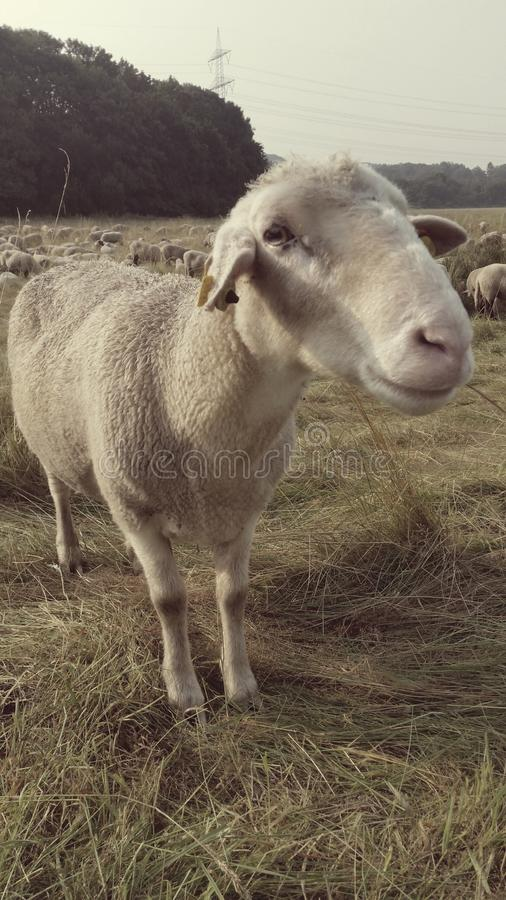 Sheep, royalty free stock photo
