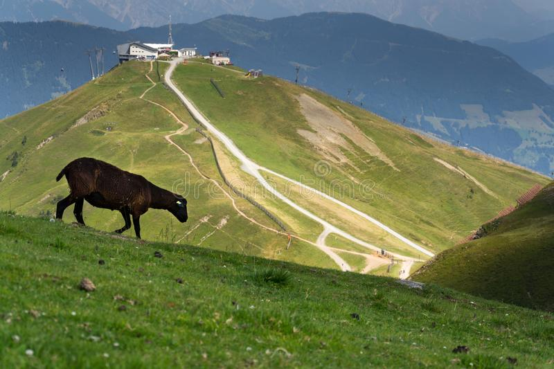 Sheep with Schattberg-Ost mountain cable car station, Saalbach-Hinterglemm, Alps, Austria. Sheep with Schattberg-Ost mountain cable car station in background stock image