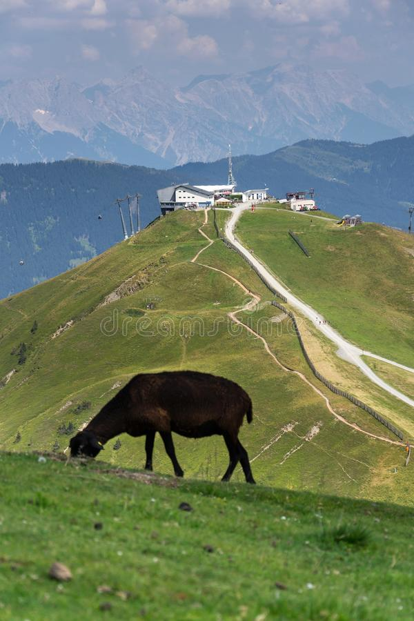 Sheep with Schattberg-Ost mountain cable car station, Saalbach-Hinterglemm, Alps, Austria. Sheep with Schattberg-Ost mountain cable car station in background royalty free stock photo