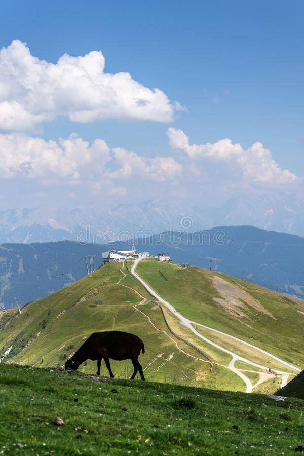 Sheep with Schattberg-Ost mountain cable car station, Saalbach-Hinterglemm, Alps, Austria. Sheep with Schattberg-Ost mountain cable car station in background royalty free stock images