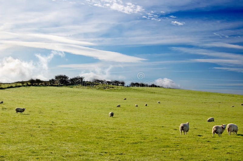 Download Sheep in scotland stock photo. Image of grassland, green - 6818438
