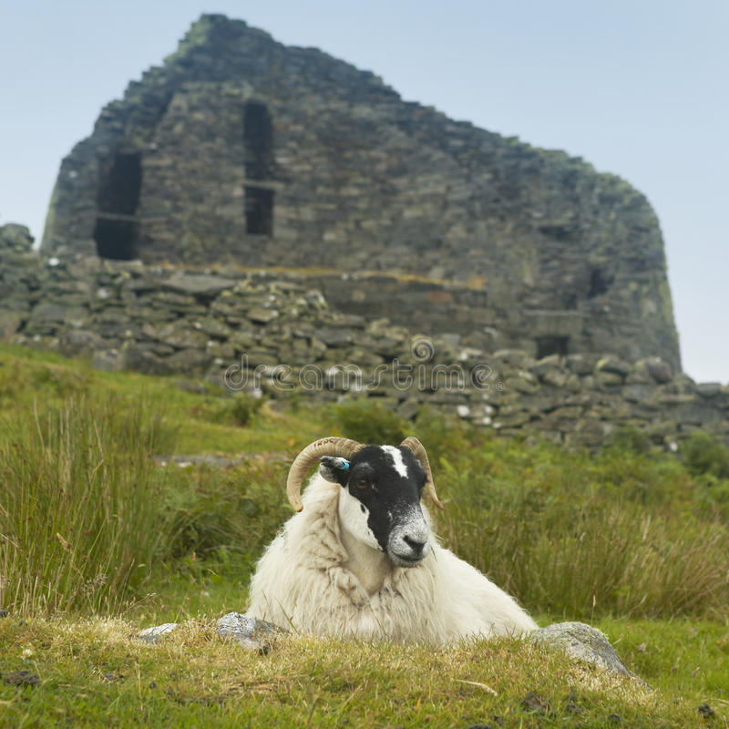Sheep and scottish antique stone construction, broch. Carloway. royalty free stock image