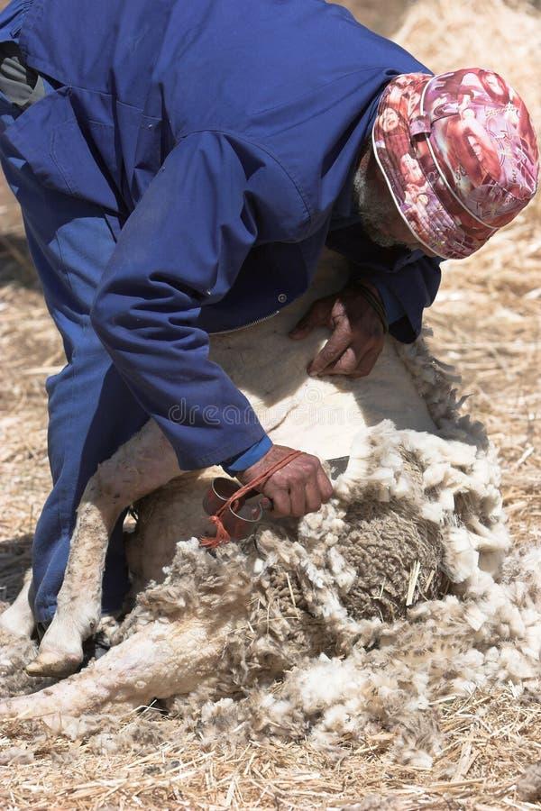 Sheep shearing stock images