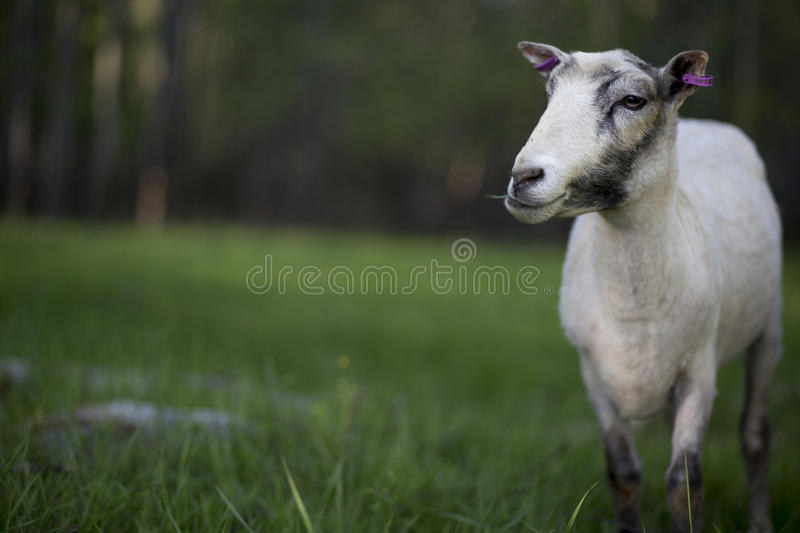 Sheep after shearing royalty free stock images