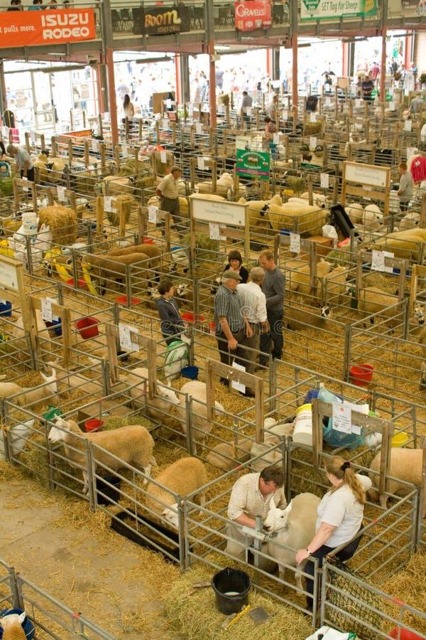 Sheep shed at the Royal Welsh Show