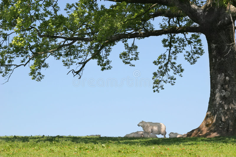 Download Sheep Sheltering stock photo. Image of farming, environment - 5056078