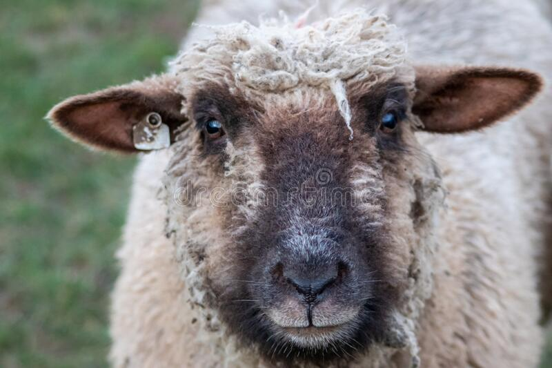 Sheep of a shepherd with organic wool on an organic farm with adequate animal housing as ideal for happy sheep and organic meat. And natural wool for organic stock image