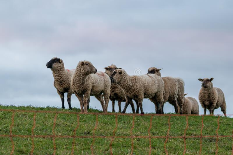 Sheep of a shepherd with organic wool on an organic farm with adequate animal housing as ideal for happy sheep. And organic meat and natural wool for organic stock images