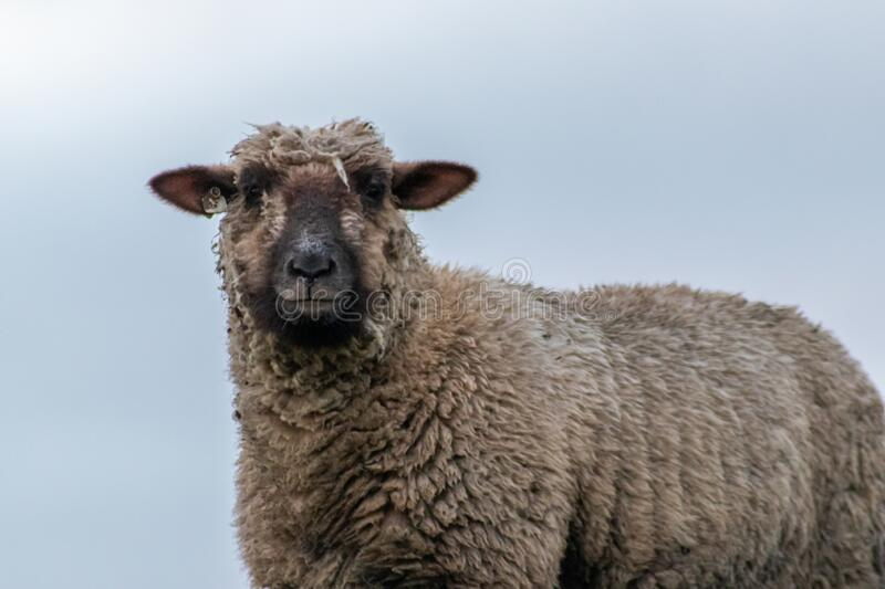 Sheep of a shepherd with organic wool on an organic farm with adequate animal housing as ideal for happy sheep. And organic meat and natural wool for organic stock photos
