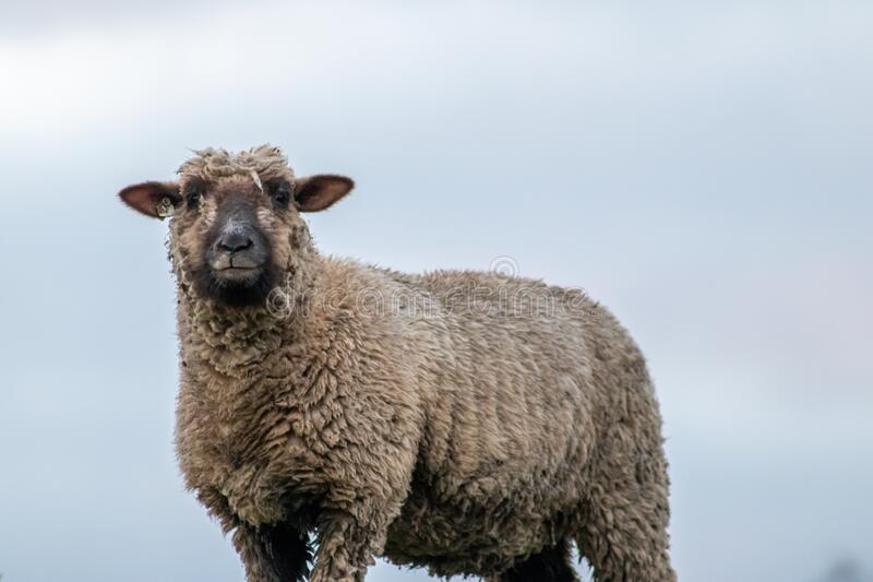 Sheep of a shepherd with organic wool on an organic farm with adequate animal housing as ideal for happy sheep. And organic meat and natural wool for organic stock image