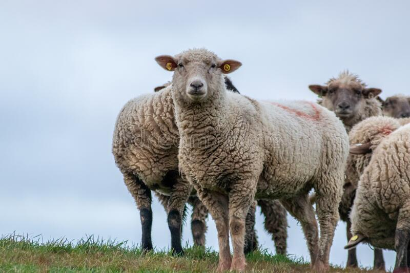 Sheep of a shepherd with organic wool on an organic farm with adequate animal housing as ideal for happy sheep. And organic meat and natural wool for organic royalty free stock image