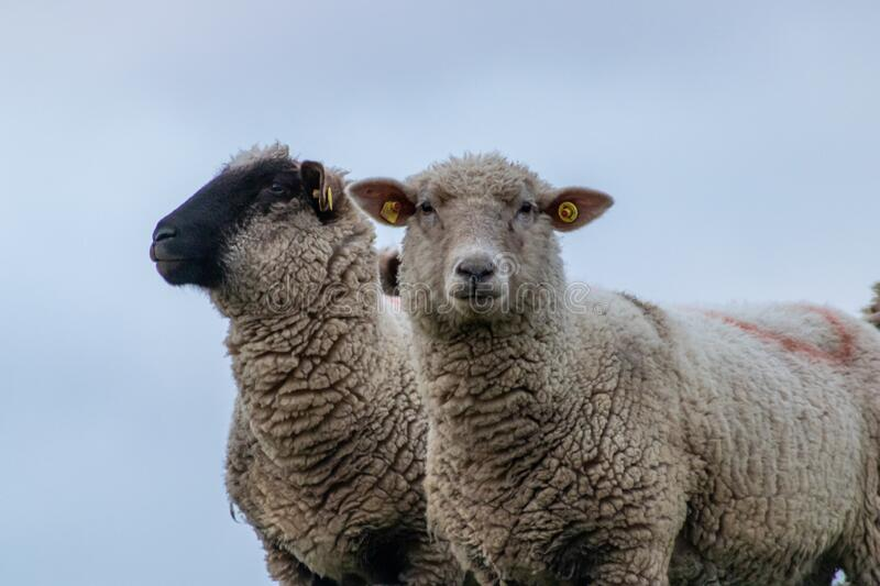 Sheep of a shepherd with organic wool on an organic farm with adequate animal housing as ideal for happy sheep. And organic meat and natural wool for organic stock photography