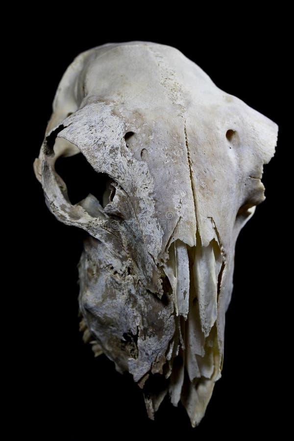 Sheep Skull On Black Background Stock Photo - Image of scary ...