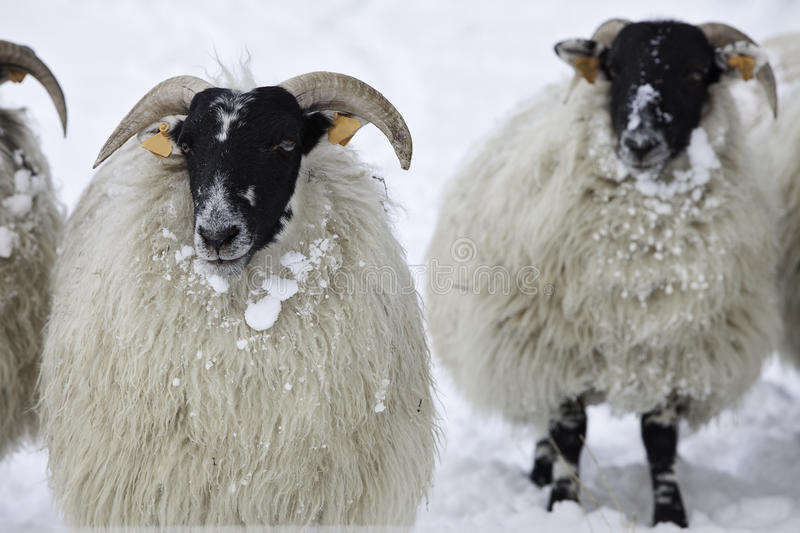 Sheep In Snow Stock Images