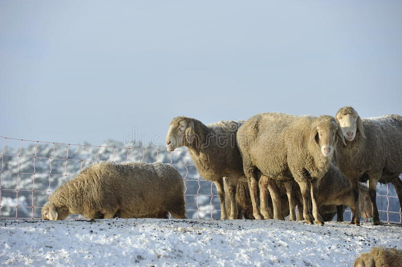 Sheep in Snow. Happy sheep in a sunny but cold December day stock photo