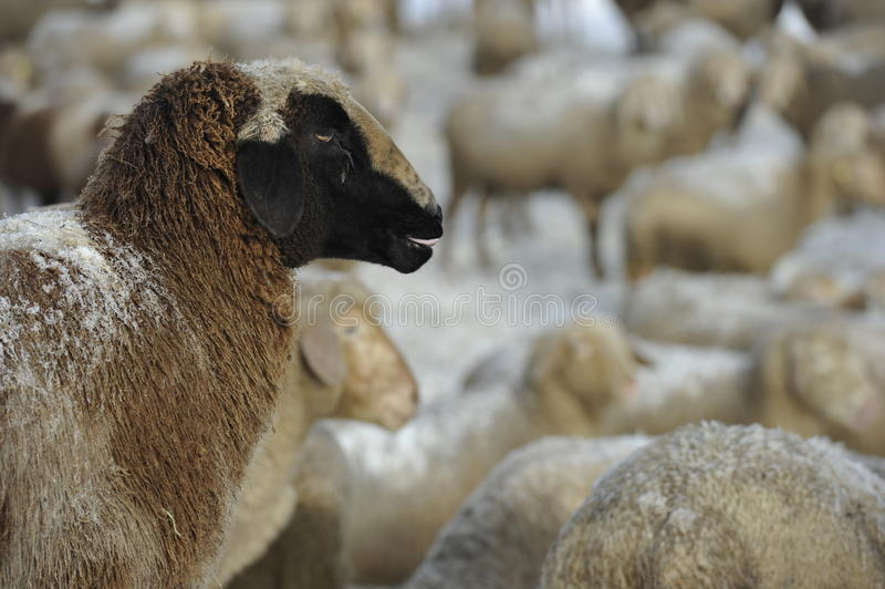 Sheep In Snow Royalty Free Stock Photo