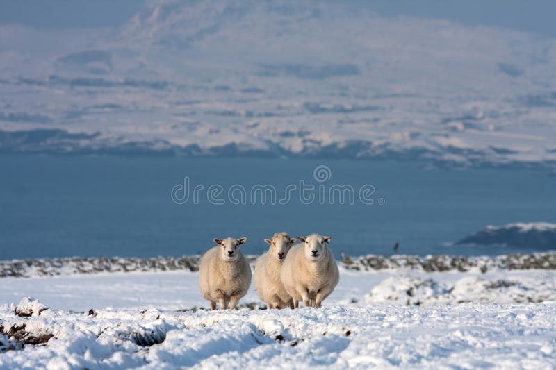 Download Sheep in snow stock image. Image of snow, north, coast - 29194673