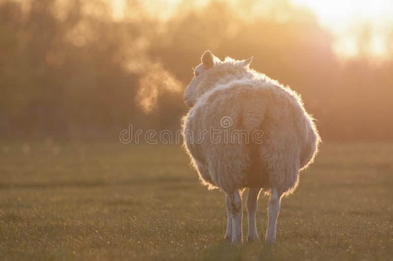 Sheep standing in a field at dawn stock image