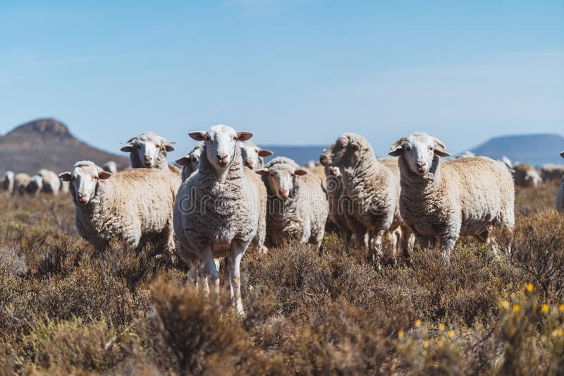 Sheep standing in a field on a farm stock photos
