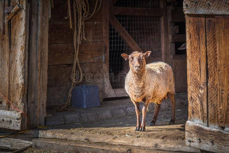 Sheep standing and looking out barn door royalty free stock image