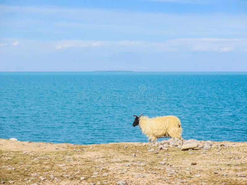 Sheep standing near the Qinghai Lake stock photography