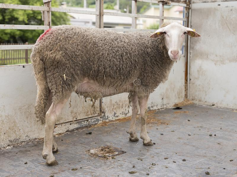 Sheep stands alone in cattle truck. Adult sheep stands alone in cattle truck and looks stock image