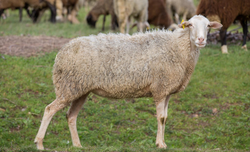 Download Sheep stared stock photo. Image of whole, entire, sunlight - 30957370