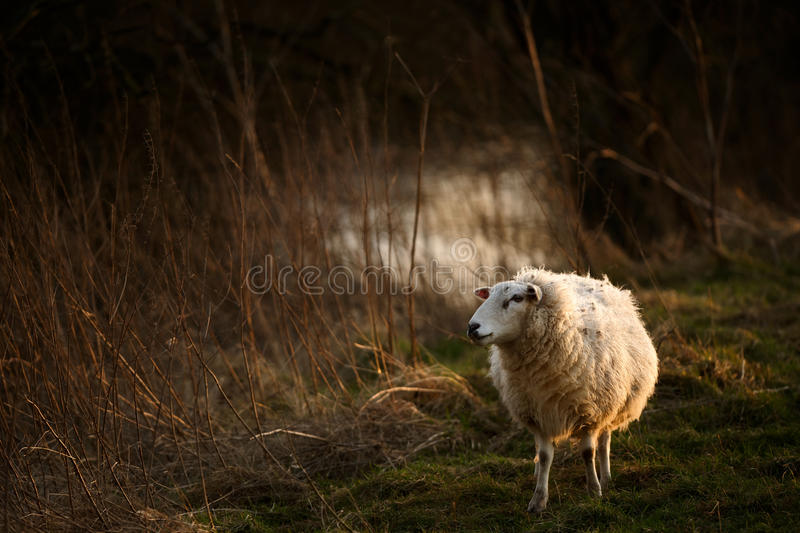 Sheep by Stream in Golden Light. A beautiful adult sheep pauses beside a reed lined stream in the golden light of sunset. Taken in Norfolk, England stock photography
