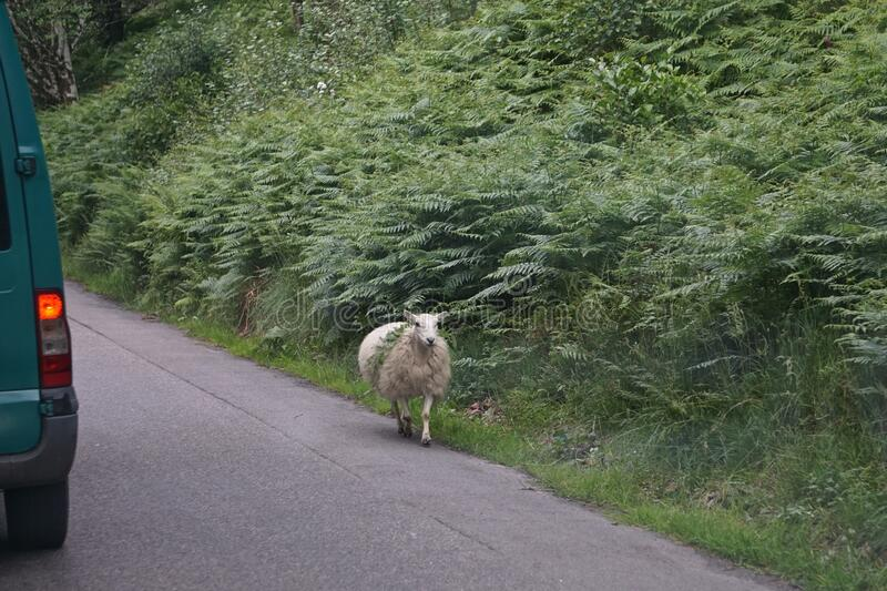 A sheep strolls along a road in the Scottish Highlands. Carrying vegetation on its back royalty free stock photo