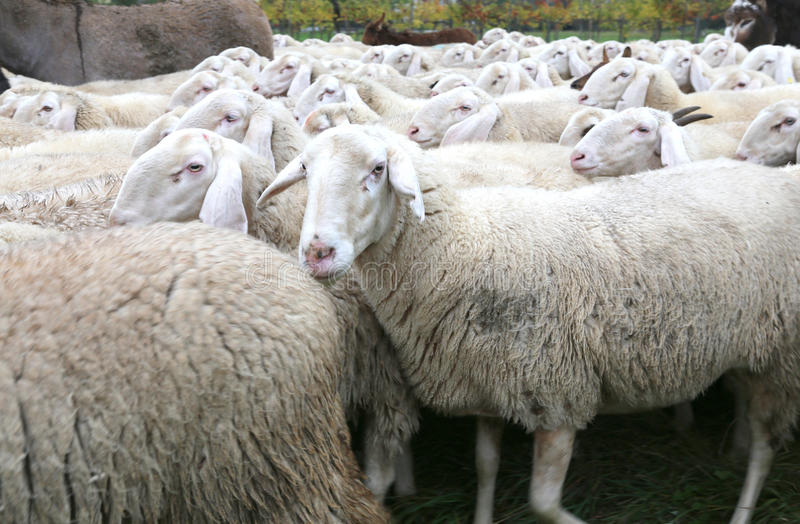 Sheep with thick white fur in a herd with lots of sheep. Big sheep with thick white fur in a herd with lots of sheep stock image