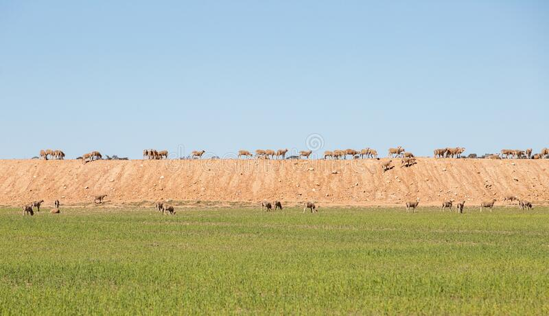 Sheep on the top of an agricultural dam in Merredin, Western Australia. Blue sky at the top and green grass at the bottom can be used for copy space royalty free stock photography