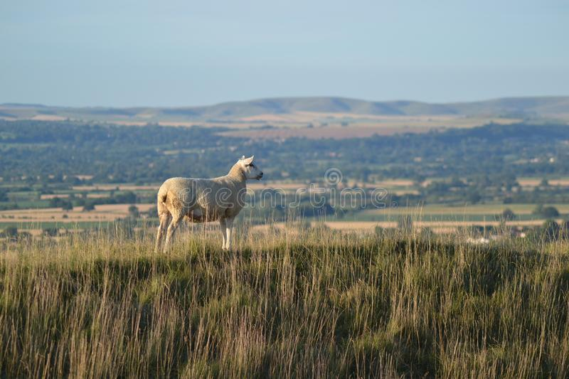 Sheep on top of a hill overlooking Wiltshire stock image