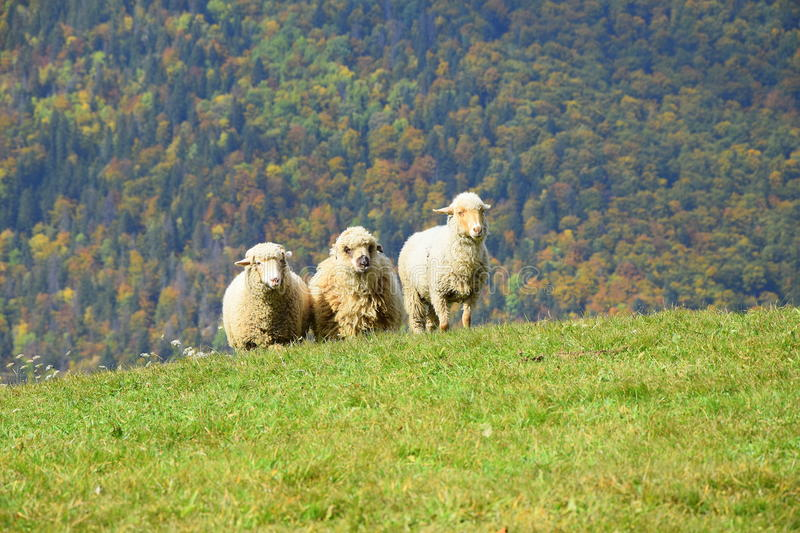 Sheep in Transylvania mountains royalty free stock photo