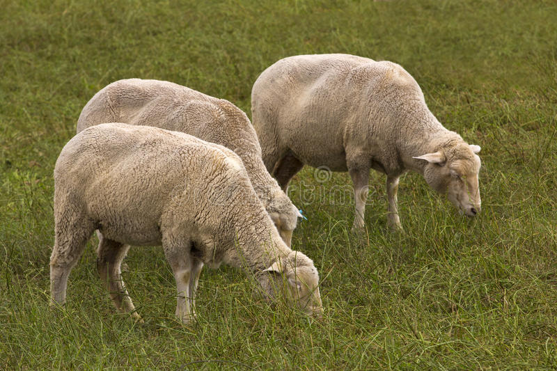 Sheep trio grazing in green field stock images