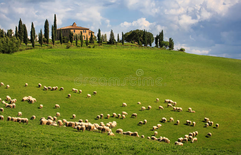 Download Sheep in Tuscany stock image. Image of cloud, cloudy - 26829531