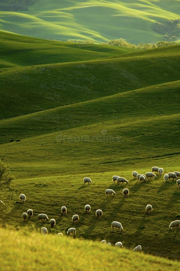 Sheep in Tuscany stock photos