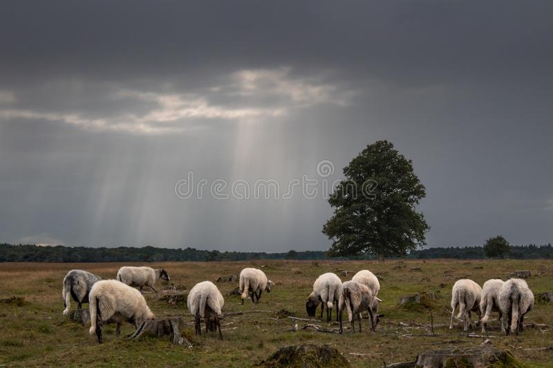 Sheep under dark clouds in a field in Drenthe, The Netherlands stock images