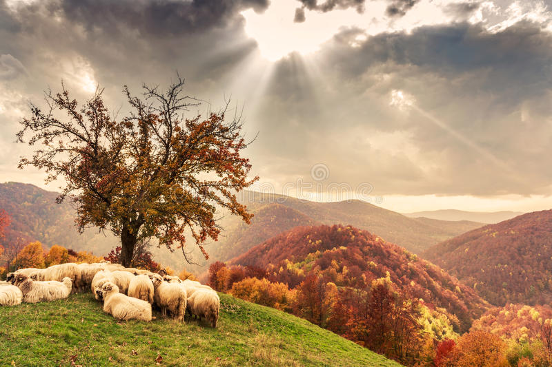 Sheep under the tree and dramatic sky stock image