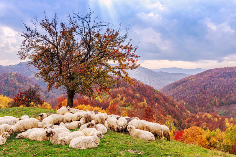 Sheep under the tree and dramatic sky royalty free stock image