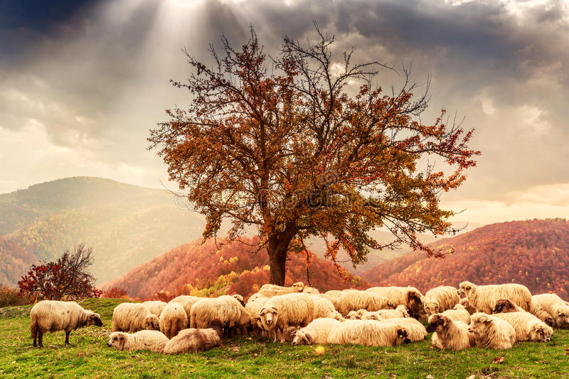 Sheep under the tree and dramatic sky stock images