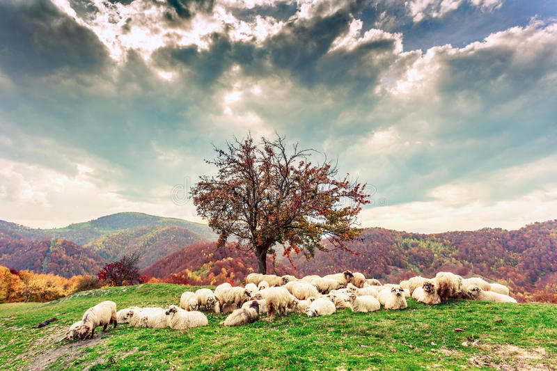 Sheep under the tree and dramatic sky stock photos