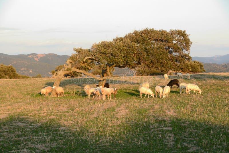 Sheep under a tree royalty free stock photo