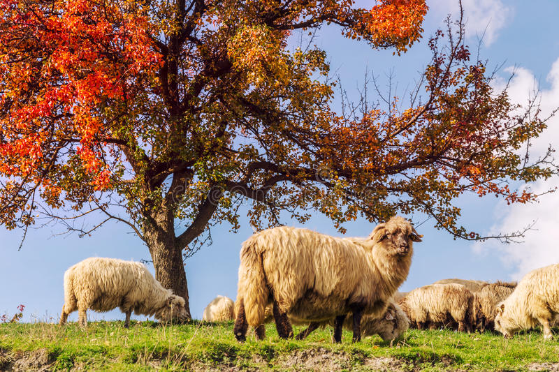 Sheep under the tree in Transylvania royalty free stock images