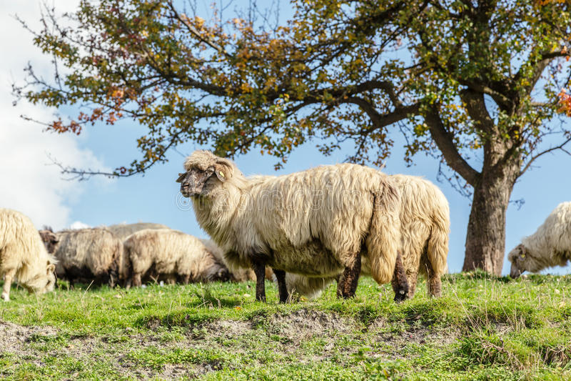 Sheep under the tree in Transylvania stock image