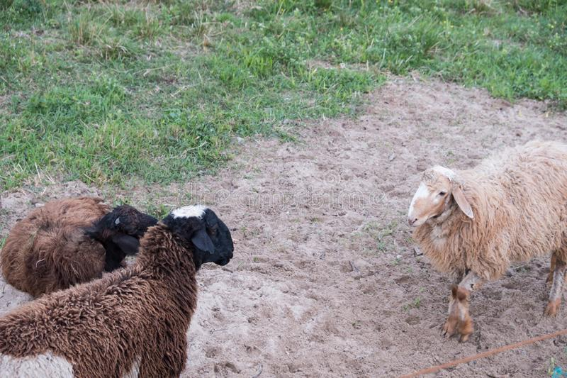 Sheep walk in the aviary on the farm stock image