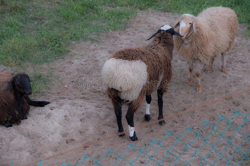 Sheep walk in the aviary on the farm. Tawny sheep. Fine-haired lambs. These animals are raised for meat, wool, milk, fat, skins and experiments Dolly sheep royalty free stock photos